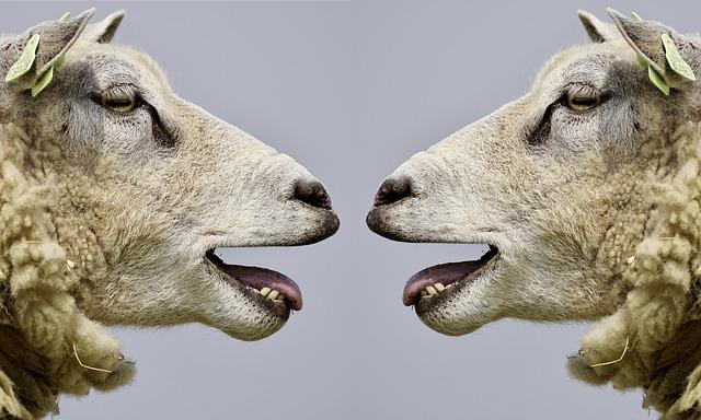 hlavy ovcí