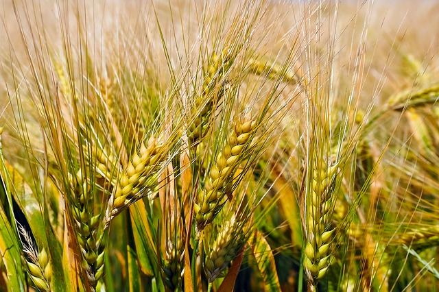 Pšenice na poli