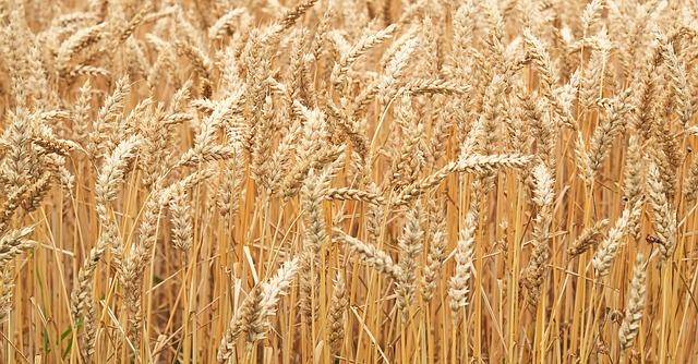 Zralá pšenice před sklizní